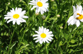 Daisies Tossed About